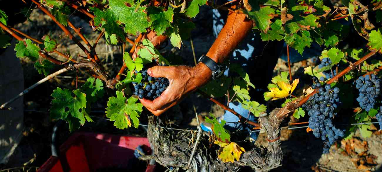 viticulture traditionnelle